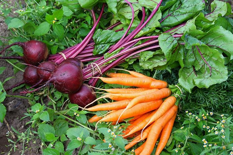 Bild : Samenfestes Gemüse (Karotten und Rote Bete)